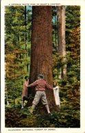 Pennsylvania Allegheny National Forest Veteran White Pine Tree - United States
