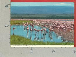 CARTOLINA VG KENIA - Greater Flamingoes - Fenicotteri Rosa - 10 X 15 - 1979 - Kenia