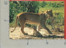 CARTOLINA VG KENIA - African Wildlife - Lions - 10 X 15 - 1982 - Kenia