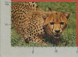 CARTOLINA VG KENIA - African Wildlife - Cheetah - 10 X 15 - 1983 - Kenia