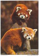 Exotische Tiere: Kleiner Panda (D-A152) - Animales