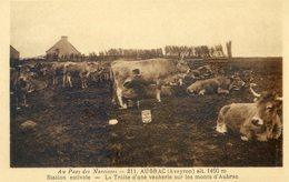 43D... AUBRAC. La Traite D'une Vacherie Sur Les Monts D'Aubrac - Mucche