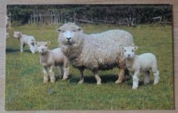 Sheeps Sheep Owca Schaf Schafe Lamm Lämmer Mouton Animals Tiere - Tierwelt & Fauna