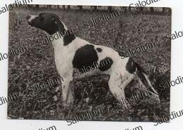 Allevamento VERCELLI - VERCELLENSIS TYRONE - Esemplare Di Pointer - Cane Dog - Caccia Hunting - Vercelli