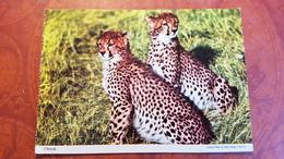 Africa / Cheetah / John Hinde - Katten