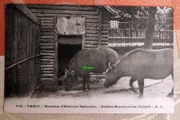 Paris - Muséum D'histoire Naturelle : Buffles Brachycères (Tchad) - Jardin Des Plantes - Vaches