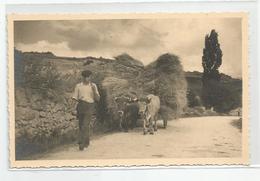 66 Dans Le Capsir Env De Mont Louis La Rentrée De La Moisson Attelage Boeufs Paysan  Carte Photo Chauvin - Autres Communes