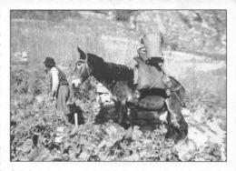 Vendanges à Ayent 1958 ( 10 X 15 Cm) - VS Valais