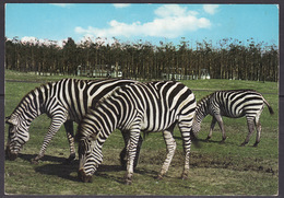 4-00-057 Zebra's - Cebras