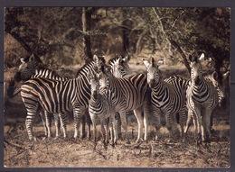 401 Groep Zebra's - Cebras