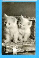OLI262, Petits Chatons Blancs Dans Un Panier, 5092, Circulée Sous Enveloppe - Gatos