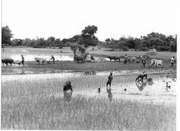 Photo Cambodge Culture Communautaire Du Riz Dans La Région De Roluos Photo Vivant Univers - Places