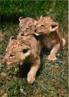 Animaux - Lions - Voir Scans Recto-Verso - Leones