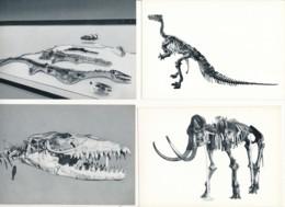 8 Cartes Photos – Fossiles De L'Institut Royale Des Sciences Naturelles Bruxelles – Iguanodon, Mosasaures, Mammouth - Animals