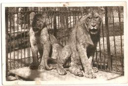 AN 517  , OLD FANTASY CARD,  LIONS And TIGERS, Parc Zoologique  , VINCENNES - Leones