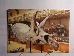 Animaux - Paléontologie - Triceratops Callicornis - Dinosaurien Herbivore .... - Autres