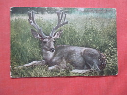 Mule Deer Antlers In Velvet  NY Zoo       Ref  3854 - Dieren