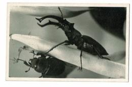 Carton Photo, Format Carte Postale - Lucane (mâle & Femelle) Pas Circulé - Insectos