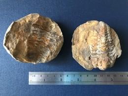 Fossile De Trilobite Cambrien Arthropode Origine Maroc Paléontologie - Fossilien