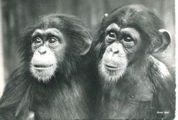 N°2298 T -cpsm  Zoo Zurich  -chimpanzés- - Monos