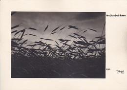 AK Reifendes Korn - Getreidefeld - Künstlerkarte Popp - Ca. 1920 (46859) - Botanik