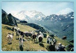 CP Elevage - Alpages Aux Lindarets - Breeding