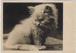 Chat  Par Ylla - Katten