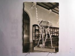 Marseille - Musée D'Histoire Naturelle - Palais Longchamp - Salle Reynès - Squelette De Girafe - Musei
