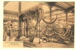 A1592[Postkaart] Musée Royal D'Histoire Naturelle Bruxelles Le Mammouth [mammoet Skelet Museum Voor Natuurwetenschappen - Musées