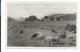 Haut Thorenc Troupeau De Moutons Paturage - Francia