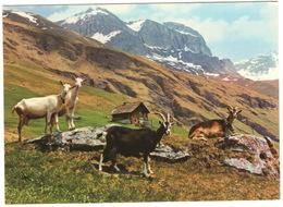 Bei Heidi's Ziegen Auf Der Alp - Les Chèvres D'Heidi - Heidi's Goats - (Schweiz/Suisse) - Switzerland