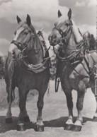 Animaux - Chevaux De Trait - Arbeitspferde Draught-horses - Harnachement - Edition Beringer Pampalughi Zurich N° A 6565 - Horses