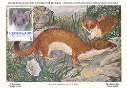 D38934 CARTE MAXIMUM CARD 2013 NETHERLANDS - MUSTELA L'HERMINE CP MUSEUM ORIGINAL - Andere