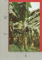 CARTOLINA VG COSTA RICA - Mata De Banano - 9 X 14 - 1986 - Costa Rica