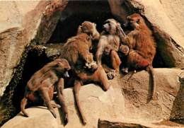 Animaux - Singes - Muséum National D'Histoire Naturelle - Parc Zoologique De Paris - Babouin De Guinée - Carte Neuve - V - Singes
