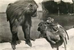 Animaux - Singes - Muséum National D'Histoire Naturelle - Parc Zoologique De Paris - Babouins - CPSM Grand Format - Voir - Singes
