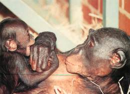 Animaux - Singes - Royaume-Uni - Great Britain - Diatou And Yasa - Mother And Baby Bonobo At Twycross Zoo - Atherstone - - Monkeys