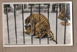 CPSM VIET-NAM - SUD VIETNAM - SAIGON - Jardin Botanique - Un Couple De Tigres - TB PLAN CAGE ZOO - Viêt-Nam