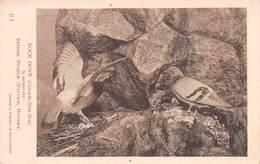 ROCK DOVE (COLUMBA LIVIA LIVIA) ~ AN OLD BRITISH MUSEUM NATURAL HISTORY POSTCARD  #9L24 - Oiseaux