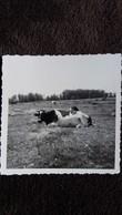 PHOTO D UNE VACHE DANS UN PRE PATURAGE NON LOCALISE    8.5 PAR 8.5 CM   1970 ? - Foto