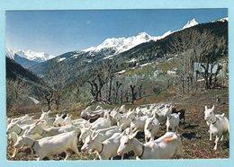 CP Paysages De France - Alpage - Troupeau De Chèvres - Cliché JC Pinheira - Breeding