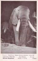 African Elephant White Nile Lado Enclave Quex Museum Old Postcard - Elefantes