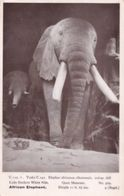 African Elephant White Nile Lado Enclave Quex Museum Old Postcard - Elephants