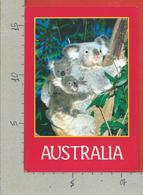 CARTOLINA VG AUSTRALIA - Koala - 12 X 17 - 1990 - Australia