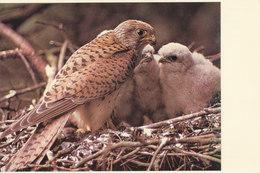 Le Faucon Crecerelle - Birds