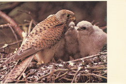Le Faucon Crecerelle - Uccelli