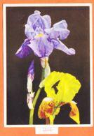 MER123 IRIS Photo Kurt HEGE Essen 1950s E.D.B Nr. 148 Papier Erhard BUNKOWSKY CPSM 15x10 - Bloemen