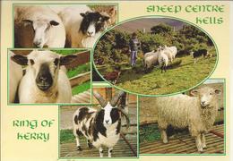 IE.- SHEEP CENTRE KELLS. RING OF KERRY. IRELAND. Ongelopen. - Tierwelt & Fauna