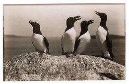 Post Card Photo Photography C.J. King St Mary Isles Of Scilly Razorbills Birds Petit Pingouin Alca Torda - Scilly Isles