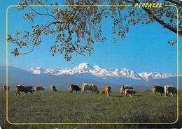 AGRICULTURE En Parcourant Les Pyrénées  (élevage Vache Vaches Cow Cows)  *PRIX FIXE - Elevage